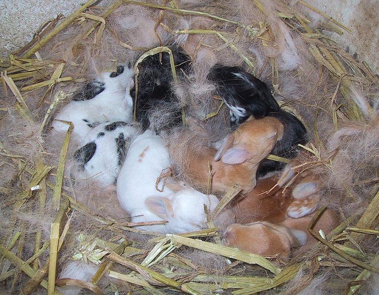 Mláďatá králikov