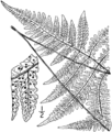 BB-0051 Dryopteris hexagonoptera.png