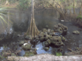 Bald-Cypress-bole (5622592490).png