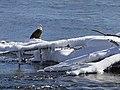 Bald Eagle (15252035513).jpg