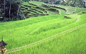 Bali riziere.jpg