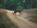 Bandhawgarh Tiger 2.jpg