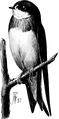 Bank Swallow-Birdcraft-0173-19.png
