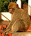 Barbary Macaque - Gibraltar - St. Michael's Cave.jpg