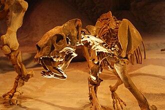 Barbourofelis - B. loveorum , Florida Museum of Natural History Fossil Hall at the University of Florida