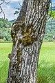 Bark of Juglans regia 02.jpg