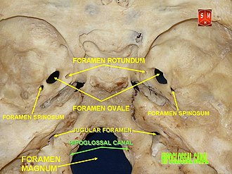 Hypoglossal canal - Image: Base of skull 19