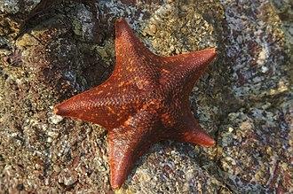 Valvatida - Image: Bat Star (Asterina miniata)002