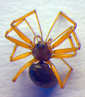 <i>Bathyphantes</i> Genus of spiders