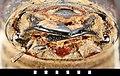 Batocera horsfieldi (Hope, 1839) (6985100417).jpg