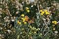 Batterfly near Glaciar Perito Mopreno - panoramio.jpg