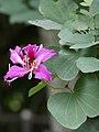 Bauhinia blakeana (flower).jpg