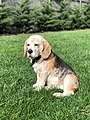 Beagle Dog.jpg