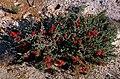 Beaufortia bracteosa.jpg