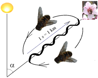 Karl von Frisch - Interpretation of the waggle dance: direction relative to the sun is shown by angle to the vertical; distance by the time taken on the central stretch.