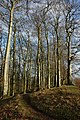 Beech trees on the Clent Hills - geograph.org.uk - 672208.jpg