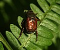 Beetle - 21 06 10 - Thorndon Country Park - Brentwood - Essex (8282153912).jpg