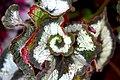 Begonia (7).jpg