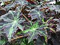 Begonia heracleifolia 2-OB9.jpg