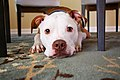 Bel Air, Maryland dog (Unsplash).jpg