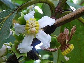 <i>Bellucia</i> Genus of flowering plants