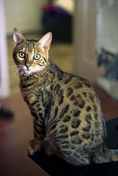 Bengal cat, five months old (2474931892).jpg