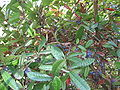 Berberis julianae 01.jpg