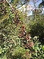 Berberis vulgaris 001.JPG