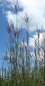 Big Bluestem (7449929196).jpg