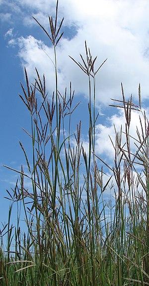 Central tall grasslands - Big Bluestem