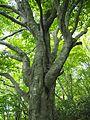 Big beech tree of Mt. Nosaka.jpg