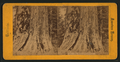 Big trees of California, from Robert N. Dennis collection of stereoscopic views.png