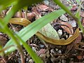 Bipalium nobile moving in the grass - 2.jpg