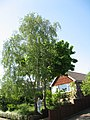 Birch and maple in the front garden - geograph.org.uk - 1188407.jpg