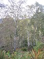 Birchwoods, Caddonfoot - geograph.org.uk - 1017261.jpg