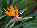 Bird of Paradise flower in the grounds at Cordial Mogán Playa.jpg