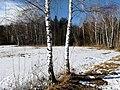 Birken im Weidmoos Mitte Februar (1).jpg