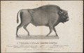 Bison americanus - 1700-1880 - Print - Iconographia Zoologica - Special Collections University of Amsterdam - UBA01 IZ21200215.tif
