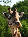 Bk giraffe, Kristiansand Zoo, Norway.jpg
