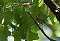 Black-throated Green Warbler (33928297443).jpg