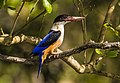 Black Capped Kingfisher in Sundarbans 01.jpg