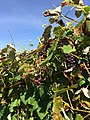 Black Dog Vineyards (22117452165).jpg