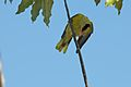 Black Naped Oriole (6789338924).jpg