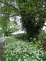Black Poplars and Cow Parsley - geograph.org.uk - 169257.jpg