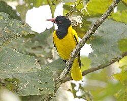 Black hooded oriole (Oriolus xanthornus) - Flickr - Lip Kee (1).jpg