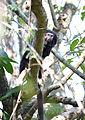 Black lion tamarin Pontal do Paranapanema 4.jpg