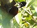 Black rumped flameback-2-kiliyur-yercaud-salem-India.jpg