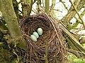 Blackbird Nest 05-05-12 (7003053190).jpg