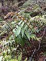 Blechnum novae-zelandiae Mount Cook 2.JPG