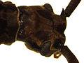 Blosyropus spinosus4.jpg